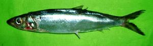 Dussumieriidae - D. acuta