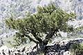 Dwarf juniper tree in Yenicekale 02.jpg