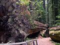 Dyerville Giant, Humboldt Redwoods State Park - Coast Redwood (Sequoia sempervirens) - Flickr - Jay Sturner.jpg
