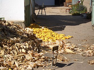 Husk - Corn being husked in the yard of a Dungan farmer in Kyrgyzstan