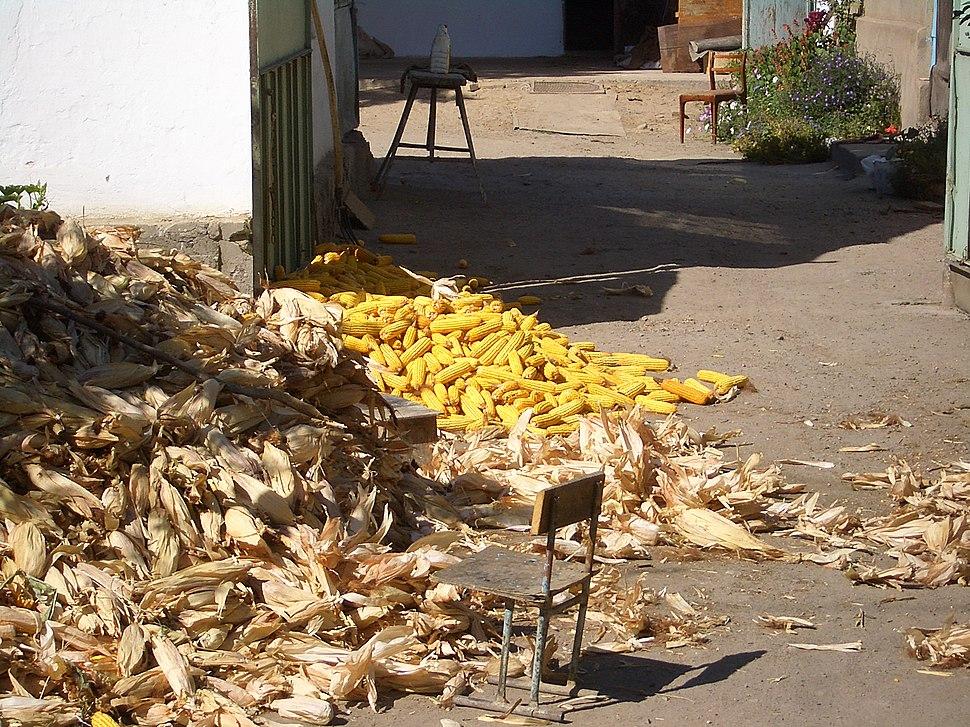 E8025-Milyanfan-corn-huskers