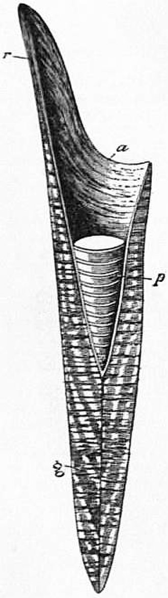 Belemnitida - Cone diagram: r pro-ostracum, a alveolus, p phragmocone, g guard