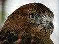 Eagle عقاب 06.jpg