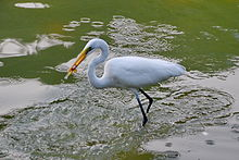Eastern Great Egret.jpg