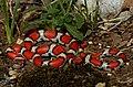 Eastern Milk Snake (Lampropeltis triangulum triangulum) (40682943834).jpg