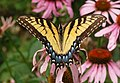 Eastern Tiger Swallowtail Papilio glaucus Wings 2908px.jpg