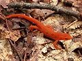 Eastern newt red eft stage Sep 3 2012 North Fork Mountain near Chimney Top.jpg