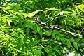 Eastern wood-pewee (34241758351).jpg