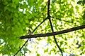Eastern wood-pewee (36475319013).jpg