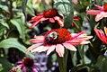 Echinacea Summer Sky 3zz.jpg