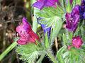 Echium vulgaris Enfoque 2011-4-15 CampodeCalatrava.jpg