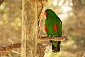 Eclectus roratus -Happy Hollow Park & Zoo, San Jose, California, USA -male-8a.jpg
