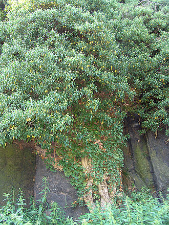 Hedera helix - Ivy growing on a granite crag, Czech Republic.