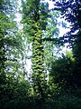 Efeu an einem Baum - panoramio.jpg