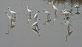 Egrets in AP W IMG 4222.jpg