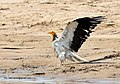 Egyptian vulture (Neophron percnopterus) Chambal River.jpg