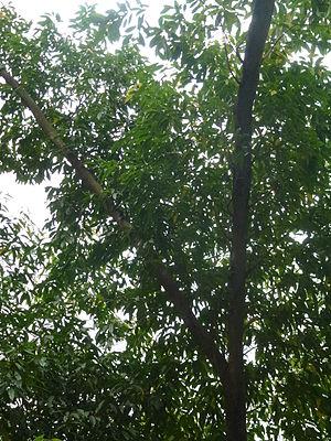 Elaeocarpus lanceifolius - Image: Elaeocarpus lanceifolius Côm lá thon, Côm bộng, Côm lá đào