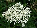 Elder flower (Sambucus nigra), Bishopstone - geograph.org.uk - 1360308.jpg