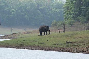 Elephant female.jpg