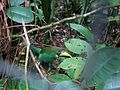 Emerald Toucanet Belize.jpg