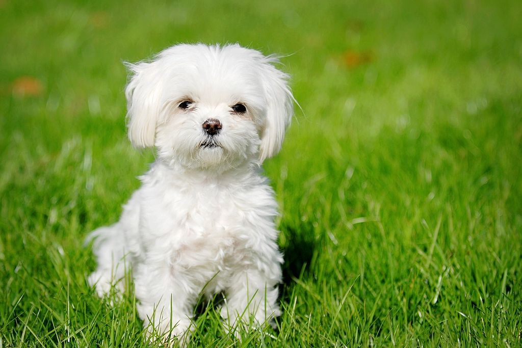 Cavapoo Dog Black And Whitw