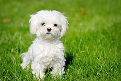 maltese dog. maltese puppy dog