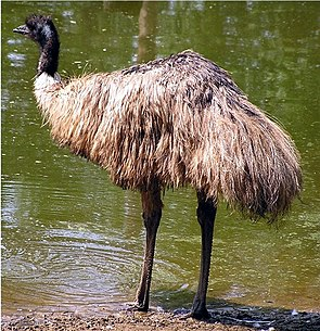 Großer Emu (Dromaius novaehollandiae)