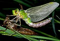 Emperor dragonfly (Anax Imperator) emerging.jpg