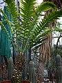 Encephalartos Woodii.jpg