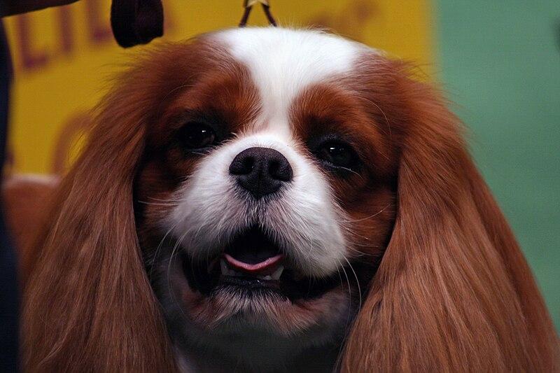 Brown King Charles Spaniel dog