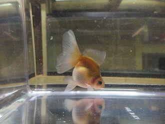 Veiltail - English Veiltail Goldfish