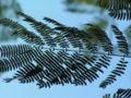 Enterolobium contortisiliquum leaf.jpeg