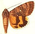 Ephesia flavescens.JPG