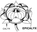 Epicalyx (PSF).png