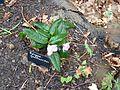 Epigaea gaultherioides - Flickr - peganum.jpg