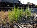 Equisetum ramosissimum (subsp. ramosissimum) sl5.jpg