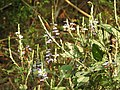 Eranthemum roseum Raan Aboli by Raju Kasambe DSCN3680 (1).jpg