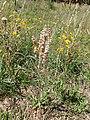 Eriogonum racemosum kz06.jpg