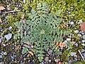 Erodium cicutarium feuilles en rosettes, près de la Deûle, Nord de la France (mi-février 2019) 01.jpg