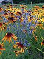 Eryngium and Rudbeckia.jpg