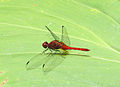 Erythrodiplax fusca, a Red-faced Dragonlet (12911656404).jpg