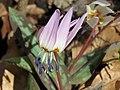 Erythronium dens-canis, Ripaljka, Sokobanja.jpg