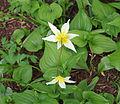Erythronium helenae.jpg