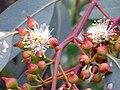 Eucalyptus camaldulensis CapsulasFlorales 2010-6-17 DehesaBoyaldePuertollano.jpg