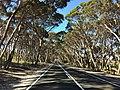 Eucalyptus cneorifolia on roadside.jpg