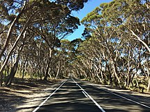 Kangaroo Island-Tourism-Eucalyptus cneorifolia on roadside