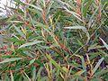 Eucalyptus cunninghamii Perrys - leaves - Blue Mountains NP.jpg