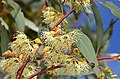 Eucalyptus dorrienii - Flickr - jeans Photos.jpg