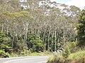 Eucalyptus globulus maidenii Labill. (AM AK294687-3).jpg