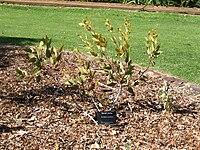 Eucalyptus rameliana